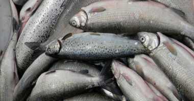 Tak Mengenal Haram, Ikan & Belalang Selalu Halal