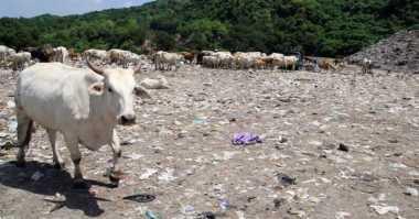 Jelang Idul Adha, Pemeriksaan Sapi Pemakan Sampah Diintensifkan