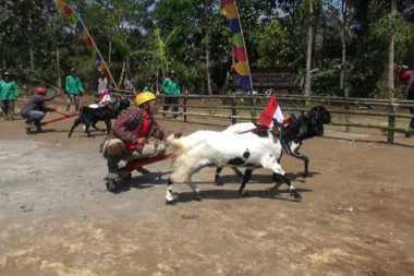 Tingkah Lucu Kambing yang Ikut Karapan di Jombang