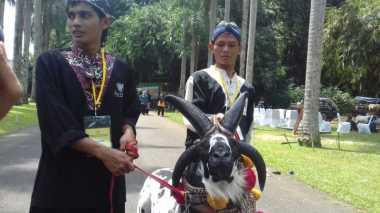 Domba Bertanduk Empat Ramaikan Kontes di Bogor