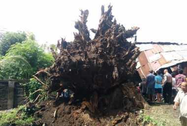 Cerita Mistis, Pohon Berusia 300 Tahun Makan Korban Dua Tahun Sekali
