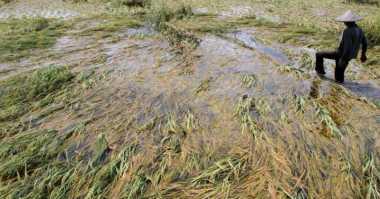 Hujan dengan Intensitas Tinggi Guyur DIY, Ratusan Hektare Tanaman Terendam Banjir