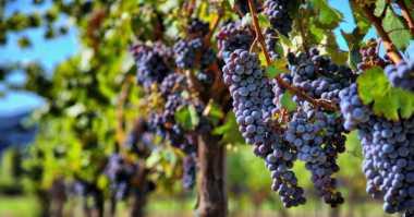 Ini Alasan China Pilih Luar Angkasa untuk Ladang Tanam Anggur