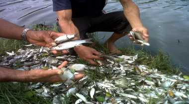 Ribuan Ikan Mati Mendadak Diduga Akibat Cemaran Limbah