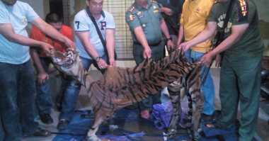 Organ Harimau Sumatera Masih Diperdagangkan di Riau