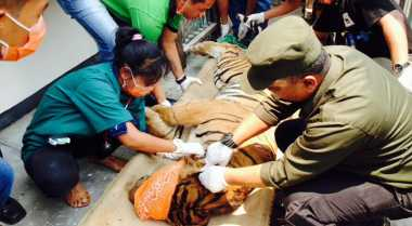 KLHK Dalami Kasus Perdagangan Kulit Harimau Sumatera