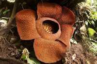 TOP TRAVEL 5: Keren! Bunga Terbesar di Dunia Ada di Sumatera