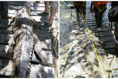 Resahkan Warga, Buaya Sepanjang 3 Meter di Malaysia Dibunuh