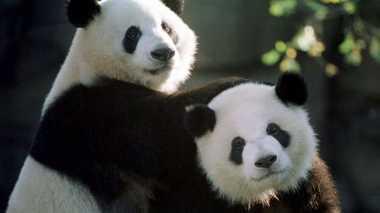 Panda Kembar Ini Akan Tinggalkan Amerika dan Dikirim ke Tiongkok