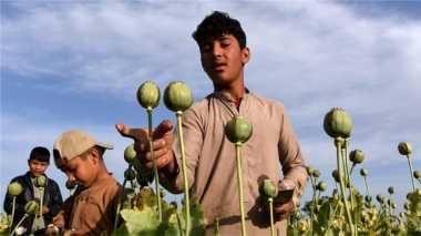 Produksi Opium Meningkat, Warga Afghanistan Semakin Mengkhawatirkan