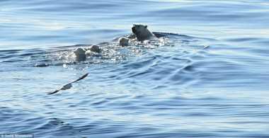 Foto Perjuangan Anak Beruang Polar Berenang di Lautan Antartika
