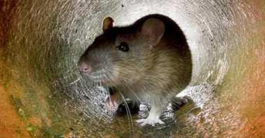Kebijakan Pemprov DKI soal Tangkap Tikus Dinilai Bentuk Money Politic