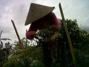Terus Diguyur Hujan, Puluhan Hektare Tanaman Cabai di Bengkulu Rusak