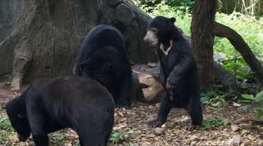 Seorang Warga Kritis Diserang Beruang Madu