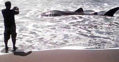 Hiu Seberat 1 Ton Ini Terdampar di Perairan Bojongsalwe, Gagal Diselamatkan