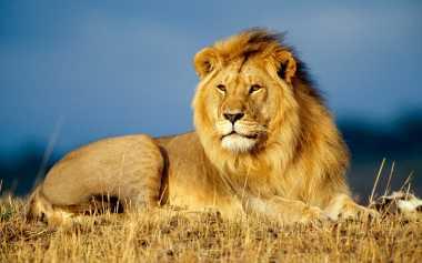 HOT THREAD (4): Singa Lindungi Anak yang Jadi Korban Penculikan