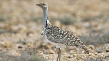 Pangeran Qatar Diserang Penduduk Desa Saat Berburu Burung Langka