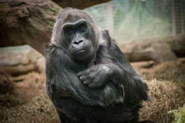 VIDEO: Colo, Gorila Tertua di Dunia Meninggal pada Usia 60 Tahun