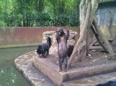 Begini Kondisi Beruang 'Kelaparan' di Kebun Binatang Bandung