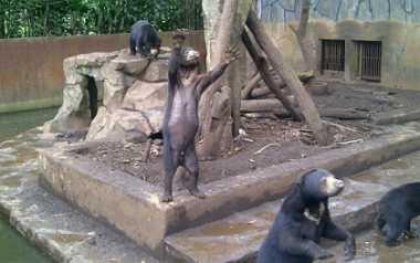 Pengelola Ngotot Sebut Beruang 'Kelaparan' dalam Kondisi Sehat