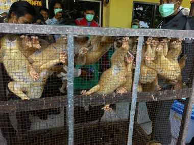 18 Kukang Berhasil Diselamatkan dari Sindikat Penjual Online
