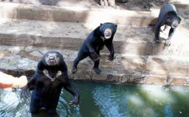 Kasus Beruang Madu di Bandung, BBKSDA Ogah Buru-Buru Beri Sanksi