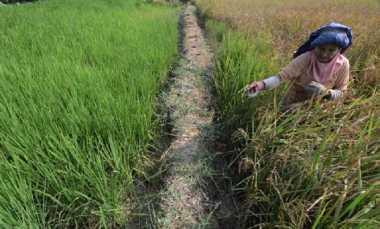 1.230 Hektar Padi di Bojonegoro Diserang Hama