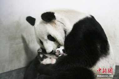 Ibu dan Bayi Panda Meninggal Beda 5 Hari, Kebun Binatang Shanghai Dipertanyakan