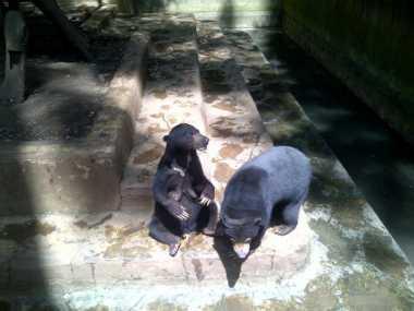 Soal Beruang Makan Kotoran Sendiri, PKBSI & Yayasan Scorpion Beda Pandangan