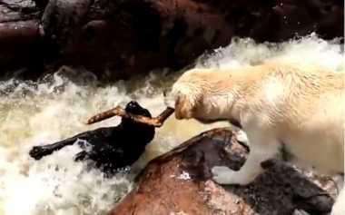 VIDEO: Momen Menakjubkan Anjing Selamatkan Teman yang Terseret Arus