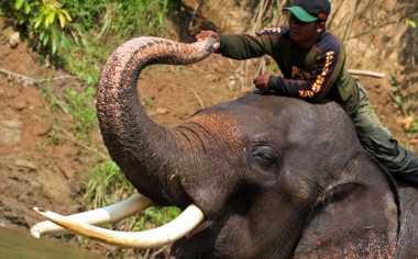 Lama Tak Beranak, Empat Gajah Dewasa Bakal Dipindahkan ke Bali
