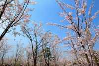 Negara-Negara Tempat Bunga Sakura Bermekaran, selain Jepang (Part-2)