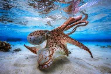 TOP TRAVEL: Foto Gurita Bawah Laut Menakjubkan Jadi Juara Kompetisi Fotografi