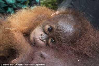 TOP TRAVEL: Mengharukan, Begini Potret Penyelamatan Bayi dan Ibu Orangutan