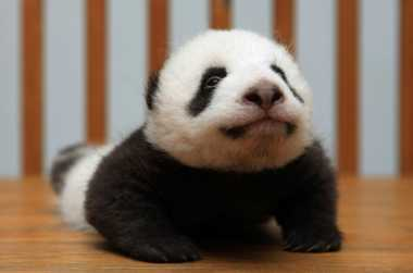 VIDEO: Ulah Lucu Bayi Panda Nempel Terus Pada Pengasuhnya