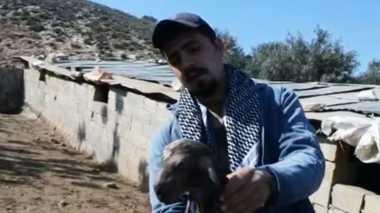VIDEO: Ini Penampakan Persilangan Kambing dan Biri-Biri
