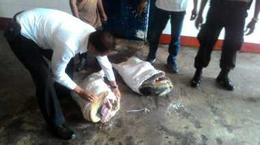 Waduh! Modus Upacara Keagamaan, Daging Penyu Diselundupkan ke Bali