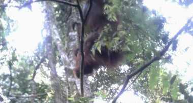 Dirawat Enam Bulan, Orangutan Berumur 20 Tahun Dilepasliarkan