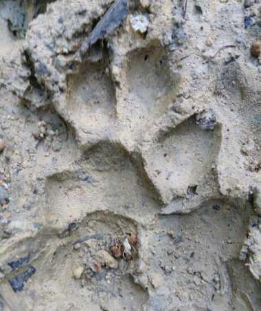 Wow! Jejak Macan Tutul Jawa Ditemukan di Hutan Blora