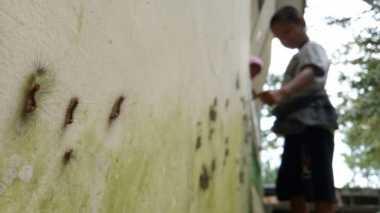 Tolong! Siang-Malam, Ulat Bulu Serang Warga di Mojokerto