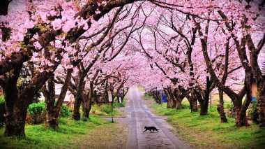 Wah, Puncak Juga Punya Taman Sakura Lho