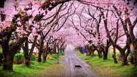 <i>Wah</i>, Puncak Juga Punya Taman Sakura <i>Lho</i>