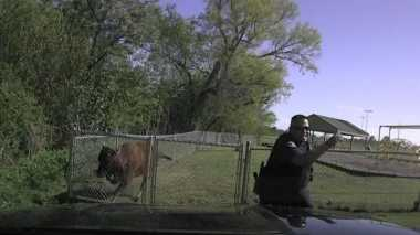 VIDEO: Duh, Polisi AS Terekam Kamera Kabur dari Kejaran Sapi