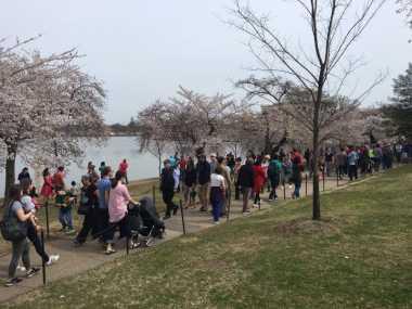 Wah, Festival Bunga Sakura Diadakan di Washington DC