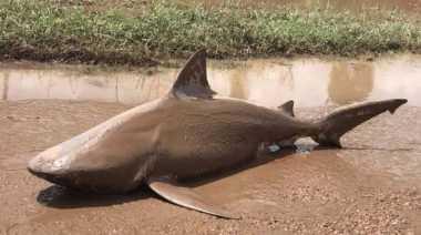 Seekor Hiu Ditemukan Terdampar di Jalan Raya Akibat Topan Debbie