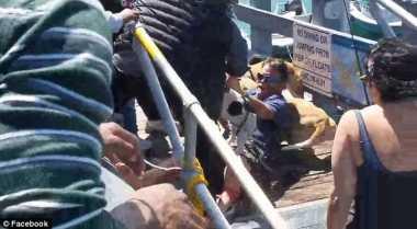 VIDEO: Hebat! Anjing Kecil Ini Berani Lawan Pitbull Demi Selamatkan Majikannya