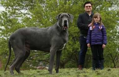 Kenalkan Tyrion, Anjing Terbesar di Inggris yang Ukurannya Setara Anak Gajah