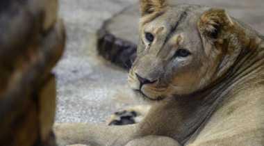 Duh, Singa Kabur Disebut Serang Remaja di Rusia