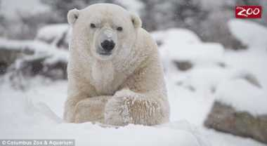 VIDEO: Sedih! Beruang Kutub Lucu Ini Divonis Kanker