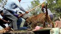 VIDEO: Duh, Seekor Macan Tutul Masuk ke Rumah Warga di India